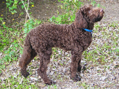 side view of Alfie; his wavy chocolate coat is clipped to about an inch all over, with fur a bit longer on the tail and face