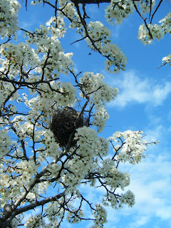 looking up, you see tree branches covered in snowy white blossoms; a bird's nest is right in the middle and in the background is bright blue sky with a few white wisps of cloud