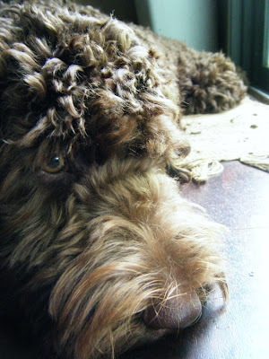 closeup of Alfie's brown face resting on the floor by the backdoor