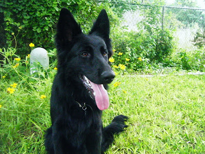 front view of a German Shepherd with long, glossy black coat, sitting in the grass in front of a bushy area with yellow flowers