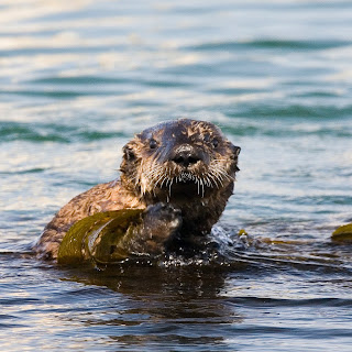 picture of an otter in the water; it too has a round and very whiskery face