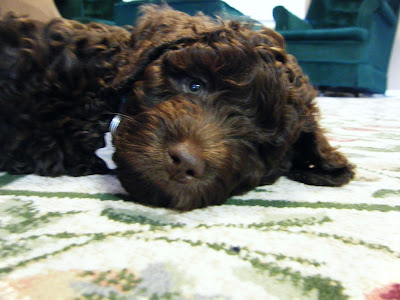 closeup of Alfie's face as an 8-wk-old puppy; he's lying down with his head on the rug