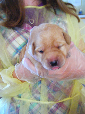 Closeup of adorable light yellow puppy in Charissa's arms; there is darker pigment accenting his facial features; his right eye has just come open, his pink tongue is out, and he's got these tiny perfect paws and toenails.