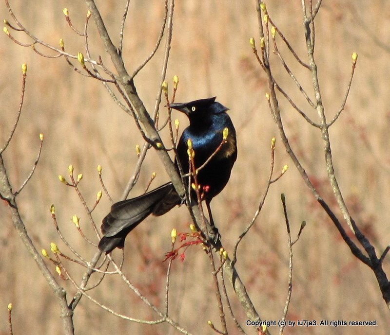 common grackle male. common grackle bird.