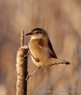 Marsh Wren, 11/29/10 Great Meadows - Concord