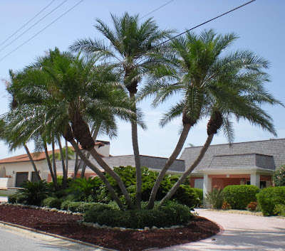 landscaping with large palm trees