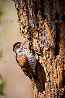 foraging Arizona Woodpecker (c) John Ashley