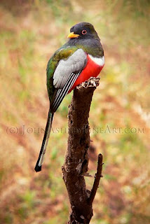 male Elegant Trogon (c) John Ashley