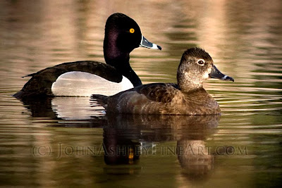 Ring-necked Duck pair in spring (c) John Ashley