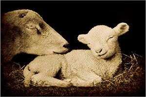 'Peaceful Lamb' (c) 2009 John Ashley