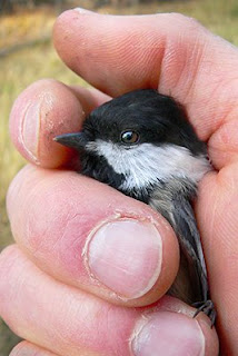 My Little Chickadee (c) 2009 John Ashley