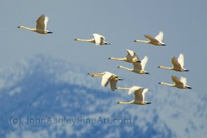 Tundra Swans (c) 2009 John Ashley