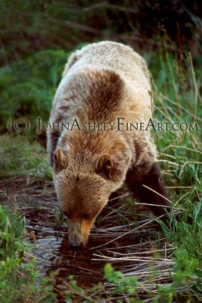 Thirsty Grizzly (c) John Ashley