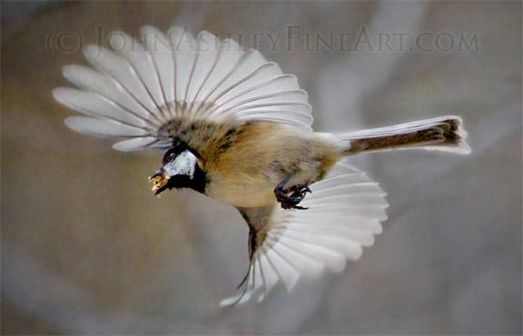Speedy Black-capped Chickadee (c) John Ashley
