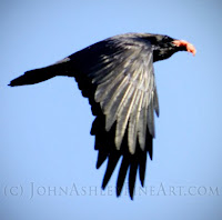 Raven carries part of a fish more than a mile back to its nest (c) John Ashley