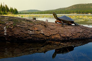 Adult painted turtle resting on log (c) John Ashley