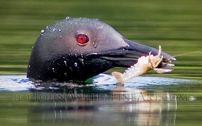 Loon surfacing with crayfish (c) John Ashley