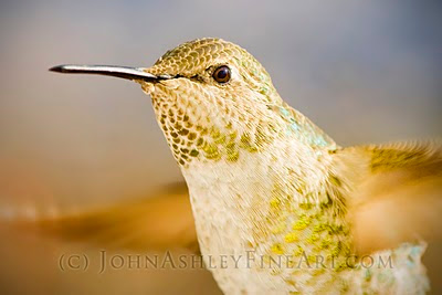 Female Anna's Hummingbird (c) John Ashley