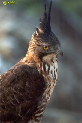 Burung Pemangsa: Elang Jawa