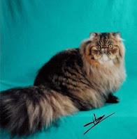 foto kucing persia 4