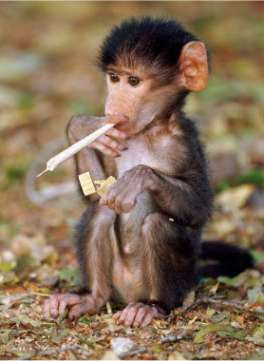 funny wallpapers of animal monkey pics
