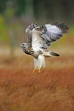 A águia de asa redonda da serra