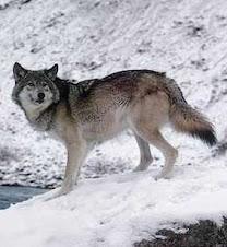 o lobo da serra
