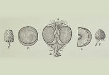 http://3.bp.blogspot.com/_dcIVxNluMh4/R8C5_eM30RI/AAAAAAAAAPI/ezFUP_qdFe4/S220/sezione+mosca+occhio.jpg