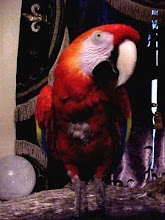 Scarlet the Talking Macaw
