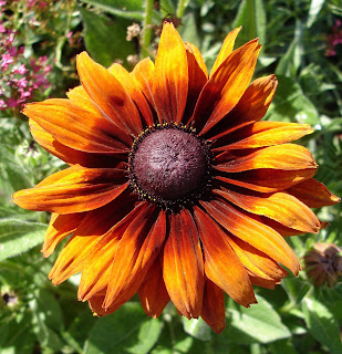 Rudbeckia Autumn Colors or brown eyed susan