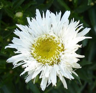shasta daisy agalia