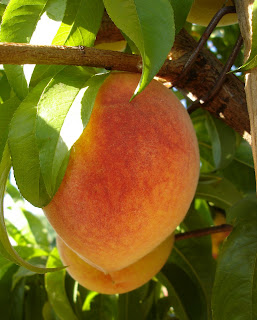 huge Fay Elberta peach growing on my tree at Springville Lavender Gardens