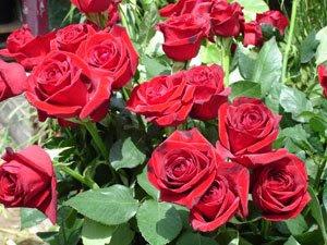 Resultado de imagem para mar de rosas