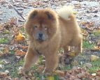 chow chow bella