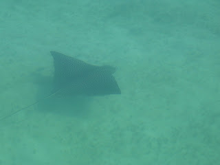 Click to see spotted eagle ray