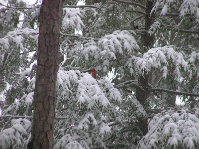 Cardinal on canadian hemlock in snow