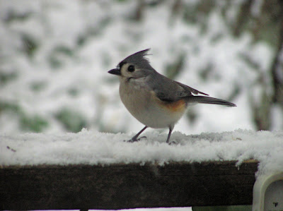Tufted Titmouse in snow