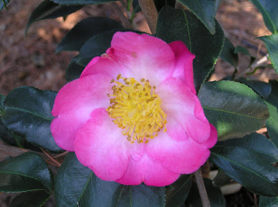 Camellia 'Autumn Sunrise'