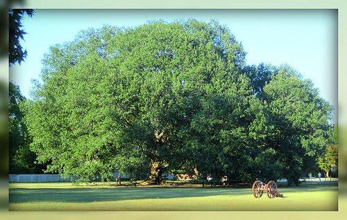 Living In Williamsburg, Virginia: Live Oak, Colonial Williamsburg ...