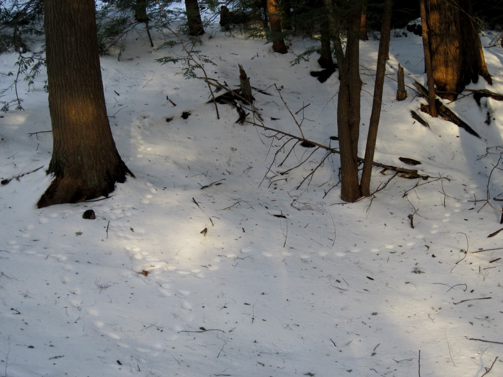 Fisher Cat Tracks - Bing images