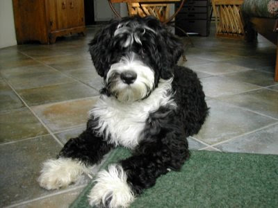 black goldendoodle puppies. lack goldendoodle puppy