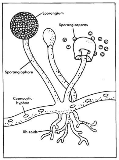 Alia  Laporan Praktikum Fungi
