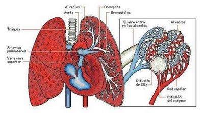 Función de las estructuras del Sistema respiratorio - Icarito