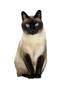 Gato Thai [Thaicat]
