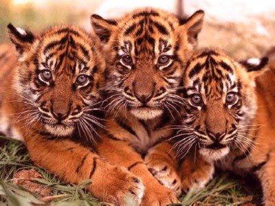 Tigres... Los animales más hermosos que la naturaleza dió.