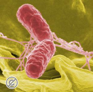 salmonella Kenapa Orang Tifus Tidak Boleh Banyak Bergerak ?