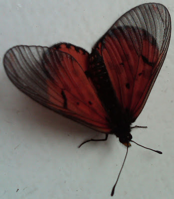 butterfly heart
