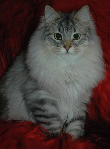 Isak Taiganov, our siberian cat. 8 months old.