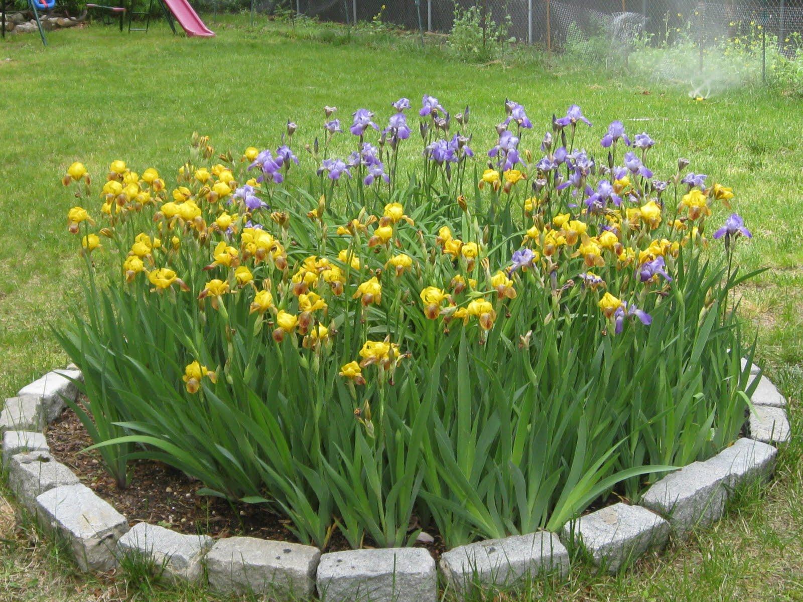 Где посадить ирис болотный и хосту - на солнце или в тени?