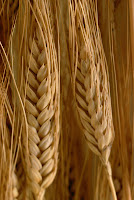 wheat fiber